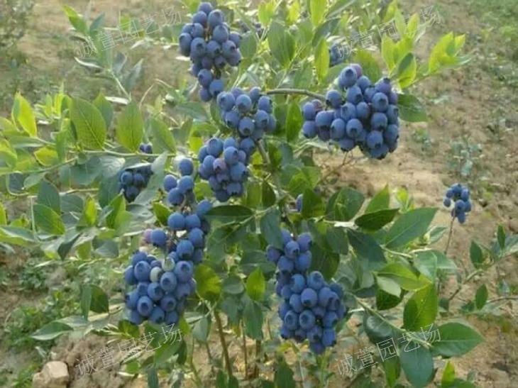 高產藍莓苗市場價格「北集坡誠萱園藝場供應」
