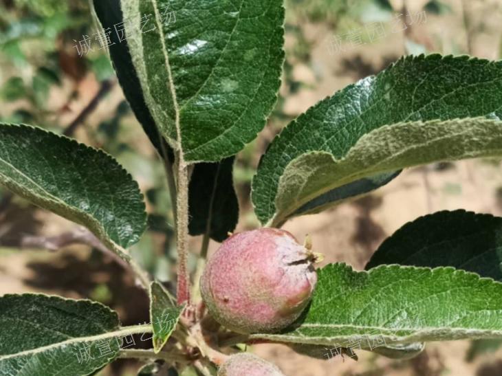 阳泉青苹果苗