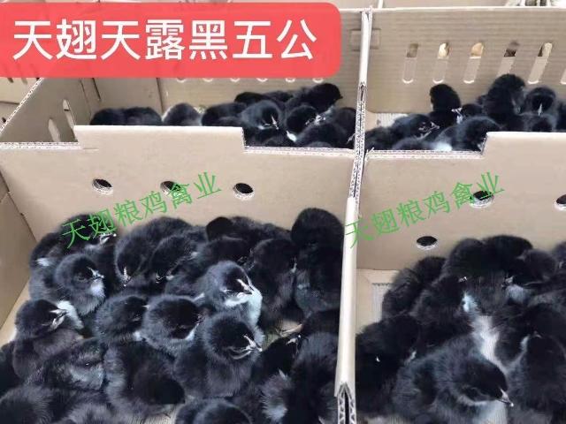 瀘州黑瑤雞苗批發點
