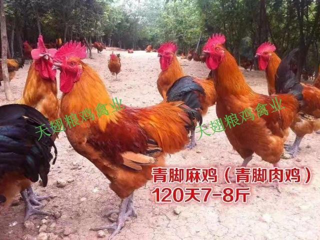 四川土雞苗多少錢一只 歡迎咨詢「綿陽天翅糧雞農業科技供應」