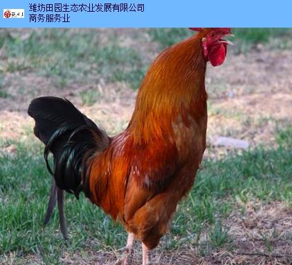 济南正宗中药鸡诚信企业,中药鸡
