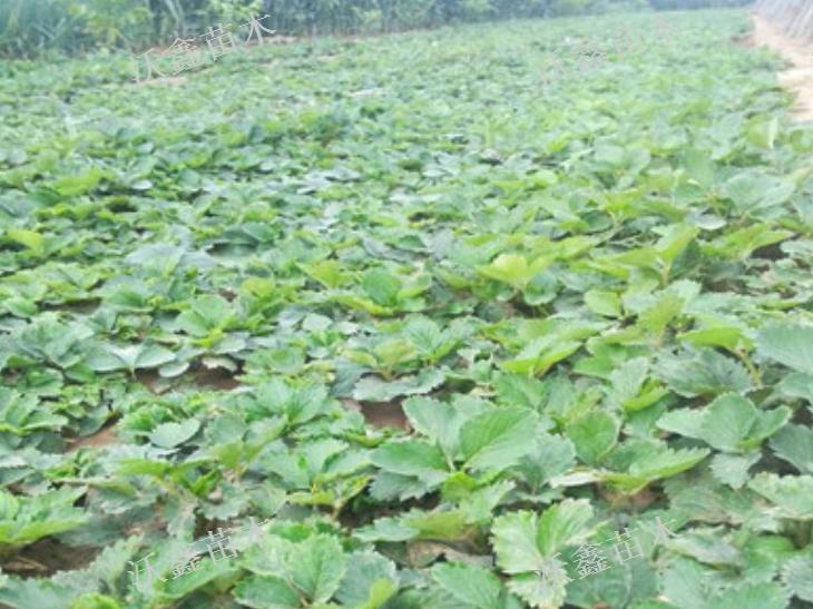 隴南草莓苗購買「泰安沃鑫苗木供應」