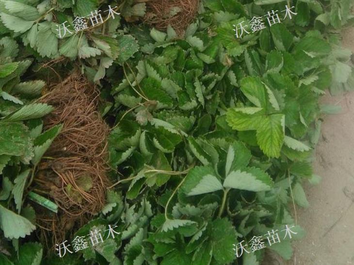 山西草莓苗產地直發「泰安沃鑫苗木供應」