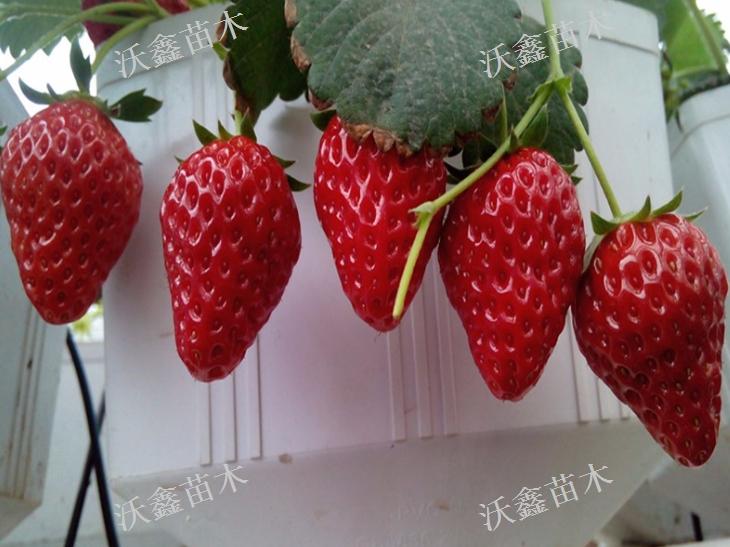 宣城隋珠草莓苗,草莓苗