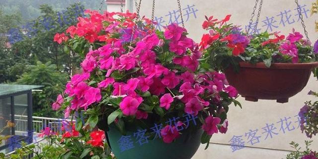 湖北批發天天開苗子 值得信賴「鑫客來花卉苗木園藝場供應」