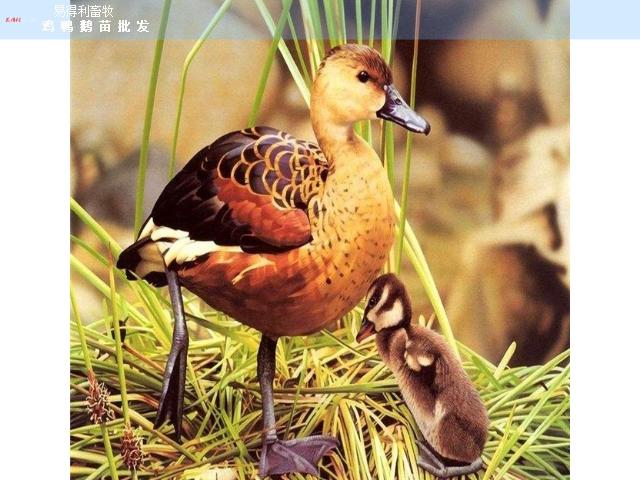 重慶五黑雞苗批發廠家 誠信經營「廣西易得利畜牧供應」