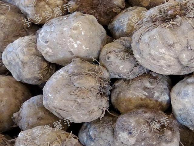云南富源白魔芋种子多少一斤 欢迎咨询 云南芋多多魔芋种子供应