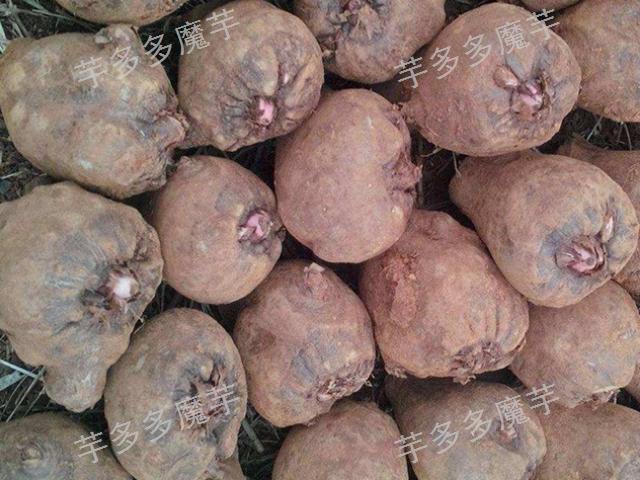云南富源高产魔芋种子育苗技术,魔芋种子