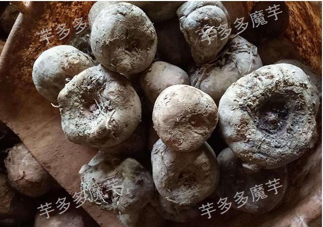 贵州魔芋种子批发采购,魔芋种子