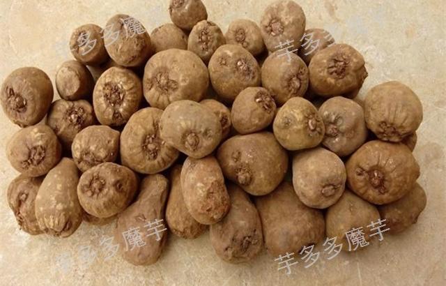 湖北脱毒魔芋种子货源 推荐咨询 云南芋多多魔芋种子供应