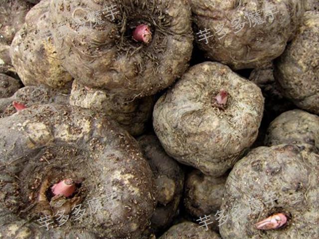 云南富源新鲜魔芋厂家收购多少一斤 云南芋多多农业供应