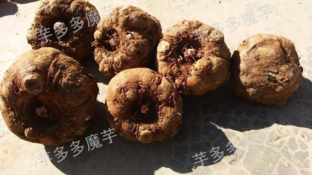 湖南魔芋厂家 云南芋多多魔芋种子供应