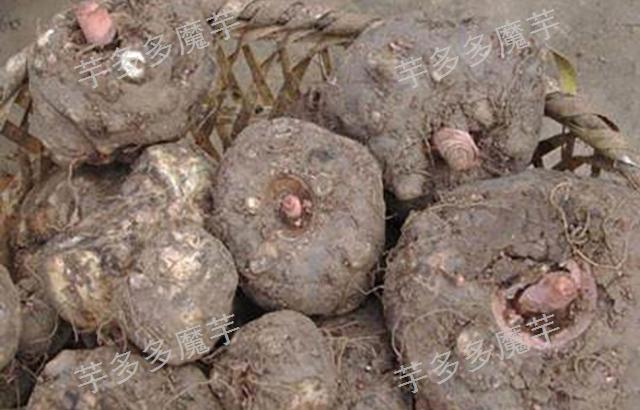 珠芽魔芋回收厂家电话 云南芋多多农业供应