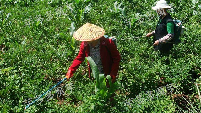 富源白魔芋种植管理 欢迎咨询「云南芋多多魔芋种子供应」