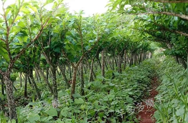 贵州二代白魔芋种植如何高效高产 推荐咨询 云南芋多多魔芋种子供应