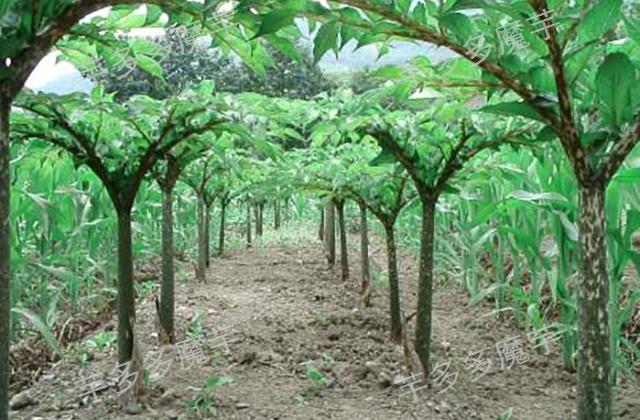 湖北珠芽黄魔芋种植要求 诚信为本 云南芋多多魔芋种子供应