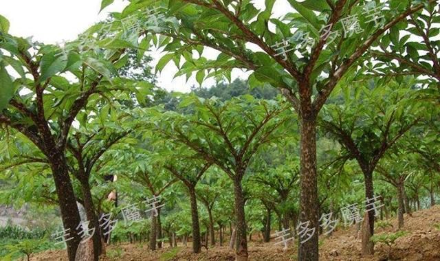 富源白魔芋种植土质「云南芋多多农业供应」