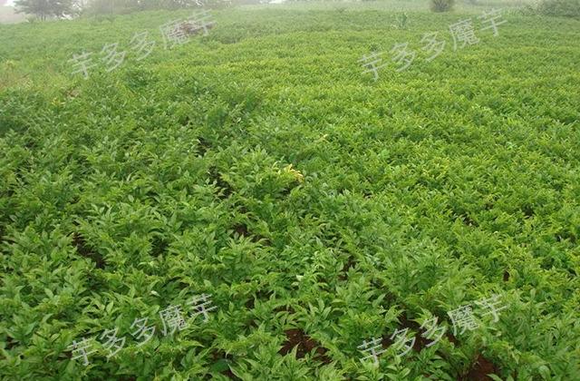 广西一代白魔芋种植时间 诚信为本「云南芋多多魔芋种子供应」